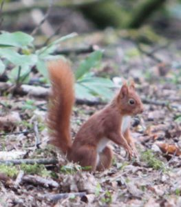 Kirkwood Squirrel