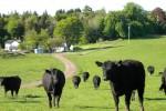Cows at Kirkwood