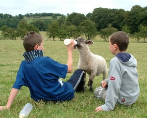 Boys Feeding Lamb