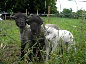 Lambs at courtyard