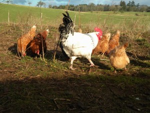 chickens in sunshine